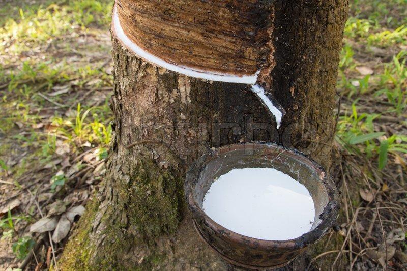 latex is natural tree sap